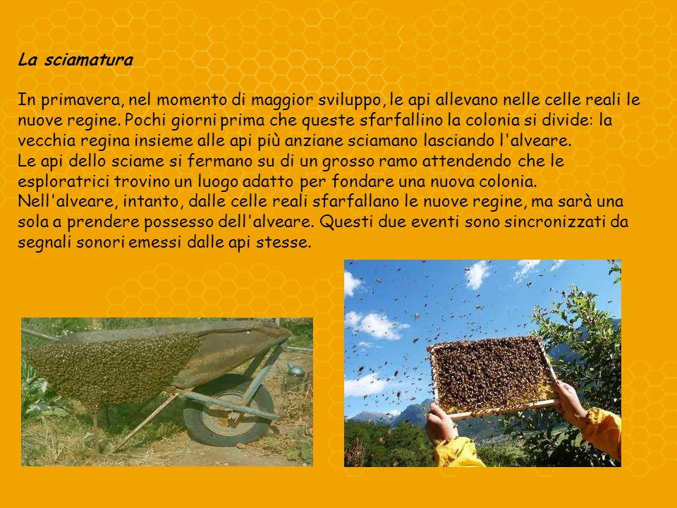 La sciamatura In primavera, nel momento di maggior sviluppo, le api allevano nelle celle reali le nuove regine. Pochi giorni prima che queste sfarfall