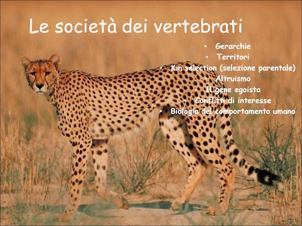 Le società dei vertebrati Gerarchie Territori Kin selection (selezione parentale) Altruismo Il gene egoista Conflitti di interesse Biologia del compor