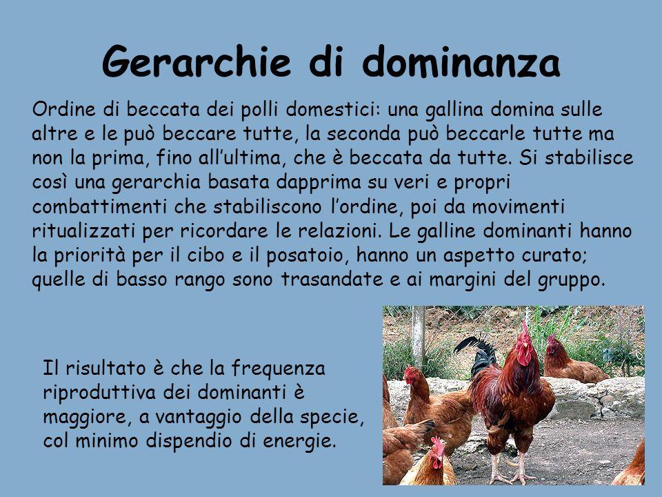 Gerarchie di dominanza Ordine di beccata dei polli domestici: una gallina domina sulle altre e le può beccare tutte, la seconda può beccarle tutte ma