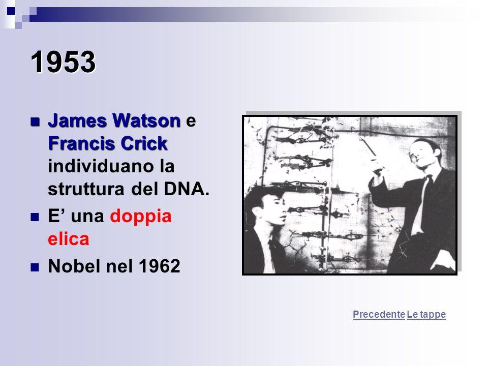 1953 James Watson Francis Crick James Watson e Francis Crick individuano la struttura del DNA. E una doppia elica Nobel nel 1962 PrecedentePrecedente