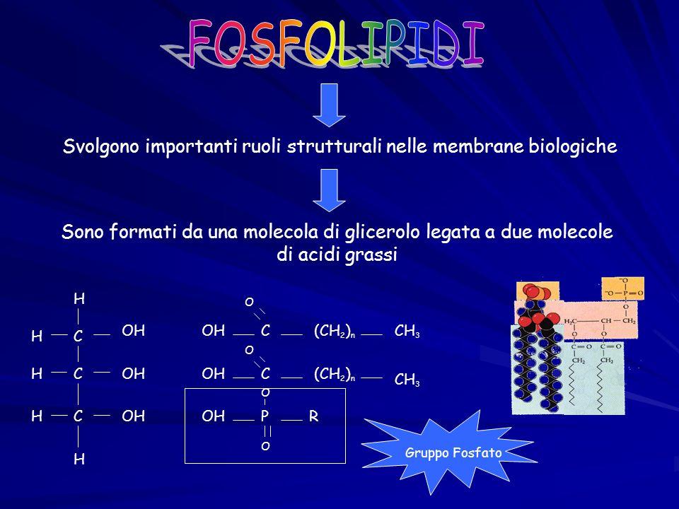 I Fosfolipidi sono formati Parte idrofobaParte idrofila Pertanto si depositano in vari modi Con la parte idrofila a contatto con lacqua In forma globulare micella Forma Sandwich