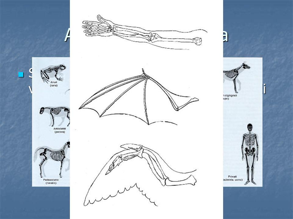 Anatomia comparata Se vediamo gli scheletri dei vertebrati vediamo che essi sono chiaramente simili Se vediamo gli scheletri dei vertebrati vediamo ch