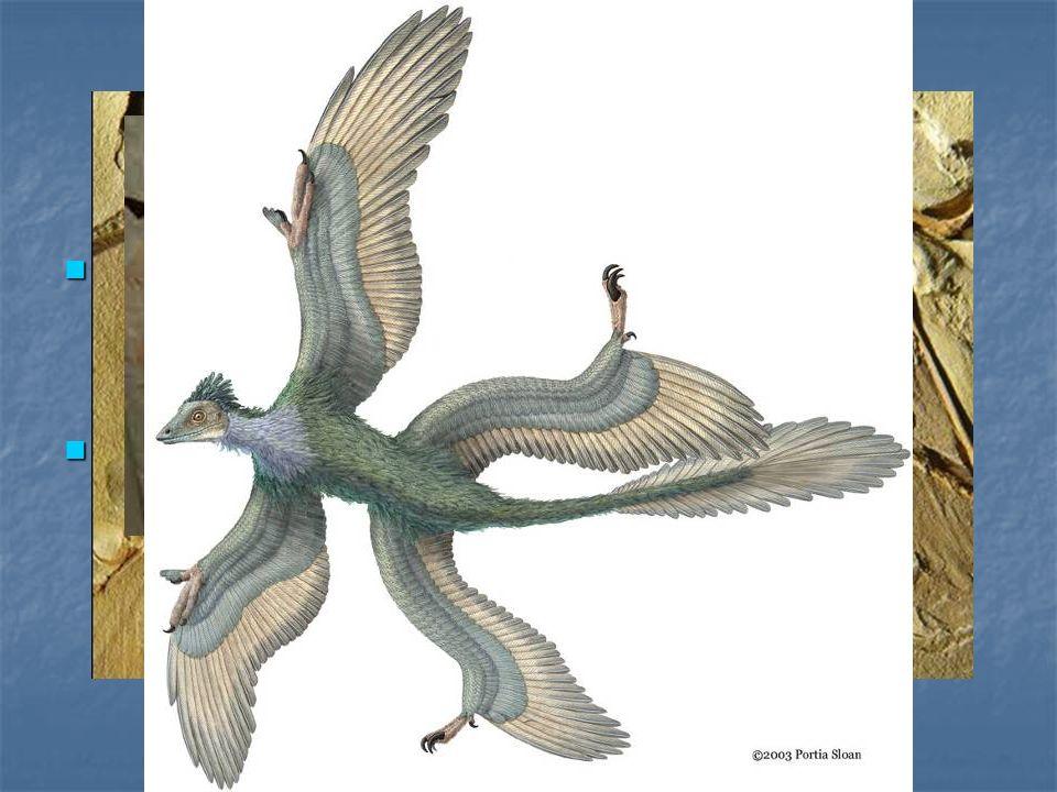 Archaeopterix Si tratta chiaramente di un uccello ma presenta ancora evidenti caratteri di un rettile Si tratta chiaramente di un uccello ma presenta