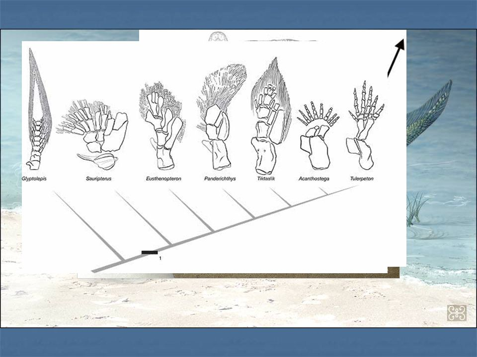 Tiktaalik È ciò che più si avvicina al fossile intermedio fra i pesci e i tetrapodi È ciò che più si avvicina al fossile intermedio fra i pesci e i te