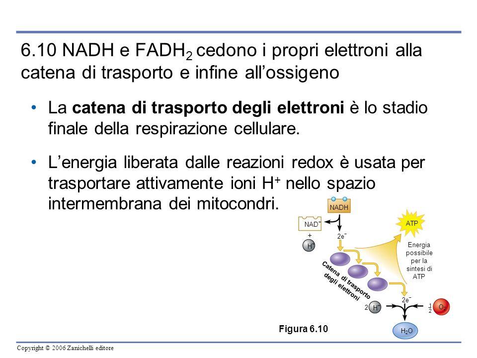 Copyright © 2006 Zanichelli editore 6.10 NADH e FADH 2 cedono i propri elettroni alla catena di trasporto e infine allossigeno La catena di trasporto