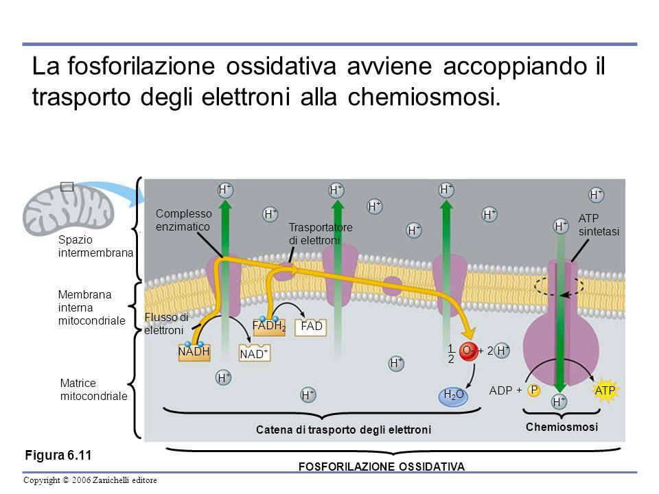 Copyright © 2006 Zanichelli editore Spazio intermembrana Membrana interna mitocondriale Matrice mitocondriale Complesso enzimatico Flusso di elettroni