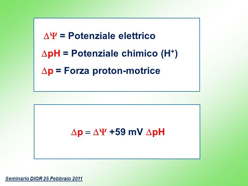 p +59 mV pH = Potenziale elettrico pH = Potenziale chimico (H + ) p = Forza proton-motrice Seminario DIOR 25 Febbraio 2011