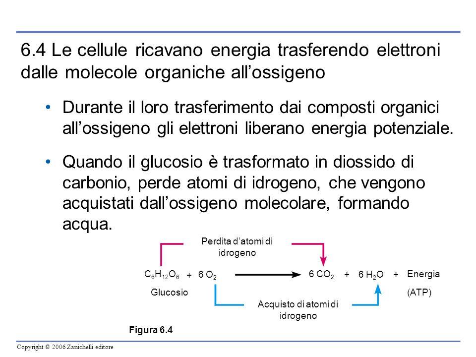 Copyright © 2006 Zanichelli editore 6.4 Le cellule ricavano energia trasferendo elettroni dalle molecole organiche allossigeno Durante il loro trasfer