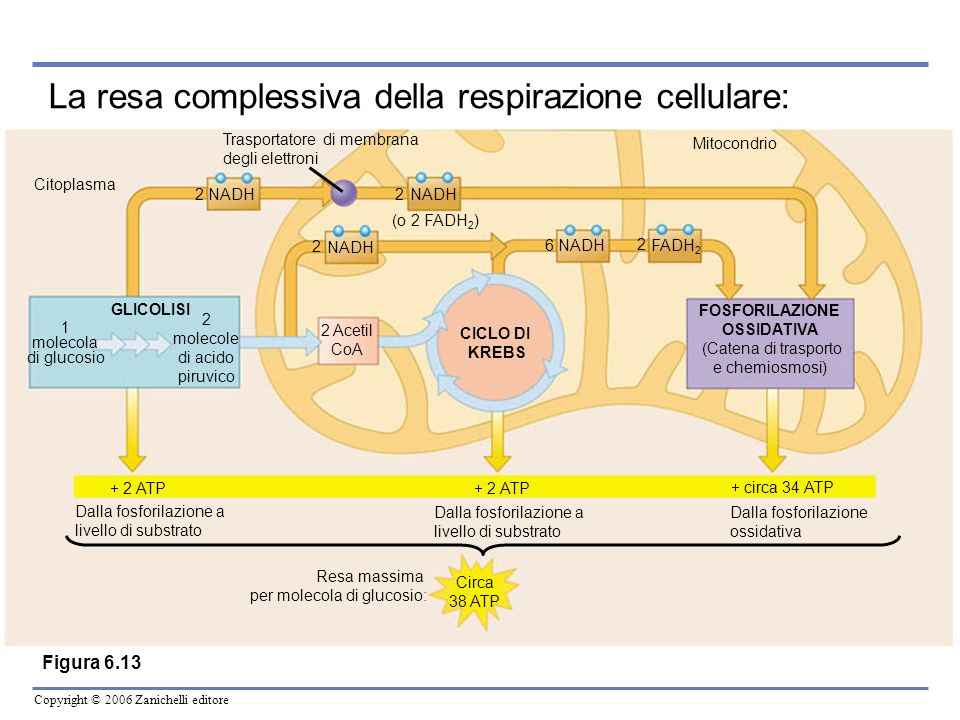 Copyright © 2006 Zanichelli editore Spazio intermembrana Membrana interna mitocondriale Matrice mitocondriale Complesso enzimatico Flusso di elettroni Trasportatore di elettroni NADH NAD + FADH 2 FAD H2OH2O ATP ADP ATP sintetasi H+H+ H+H+ H+H+ H+H+ H+H+ H+H+ H+H+ H+H+ H+H+ H+H+ H+H+ H+H+ H+H+ H+H+ P O2O2 Catena di trasporto degli elettroni Chemiosmosi.