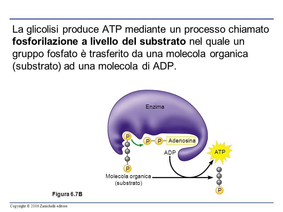 Copyright © 2006 Zanichelli editore La glicolisi produce ATP mediante un processo chiamato fosforilazione a livello del substrato nel quale un gruppo