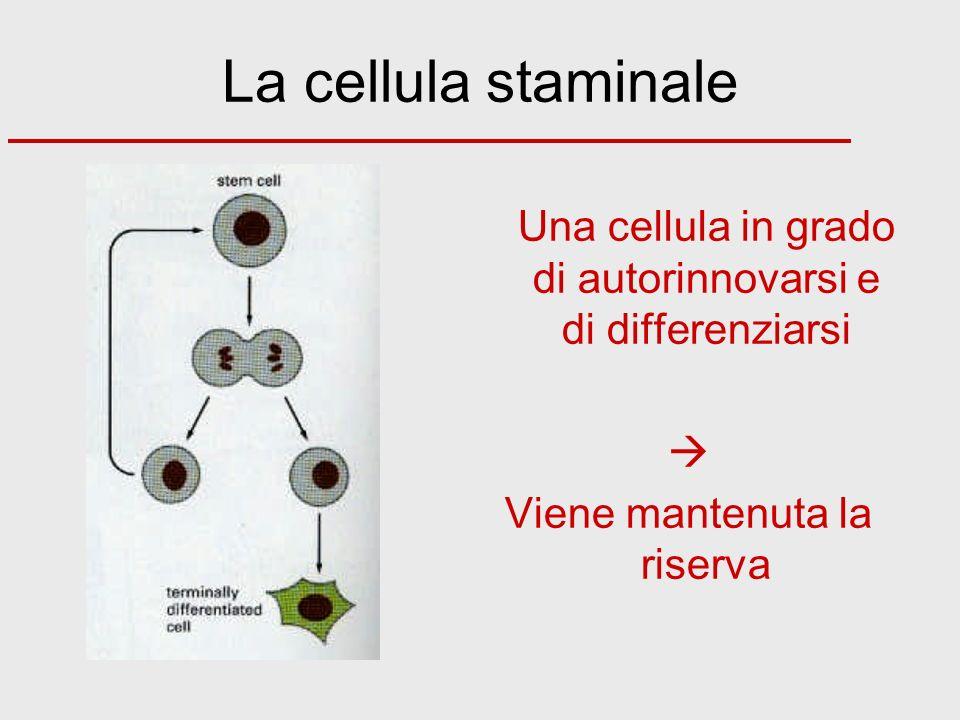 La cellula staminale Una cellula in grado di autorinnovarsi e di differenziarsi Viene mantenuta la riserva