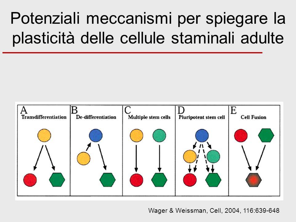 Potenziali meccanismi per spiegare la plasticità delle cellule staminali adulte Wager & Weissman, Cell, 2004, 116:639-648