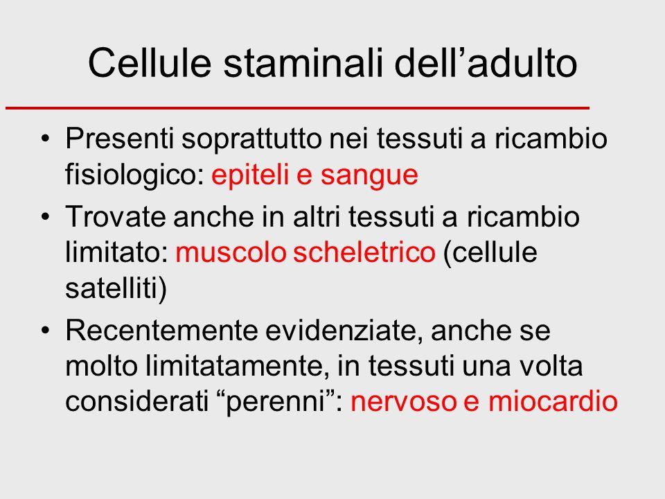 Cellule staminali delladulto Presenti soprattutto nei tessuti a ricambio fisiologico: epiteli e sangue Trovate anche in altri tessuti a ricambio limit