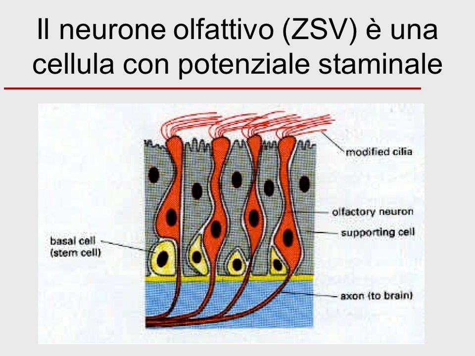 Il neurone olfattivo (ZSV) è una cellula con potenziale staminale