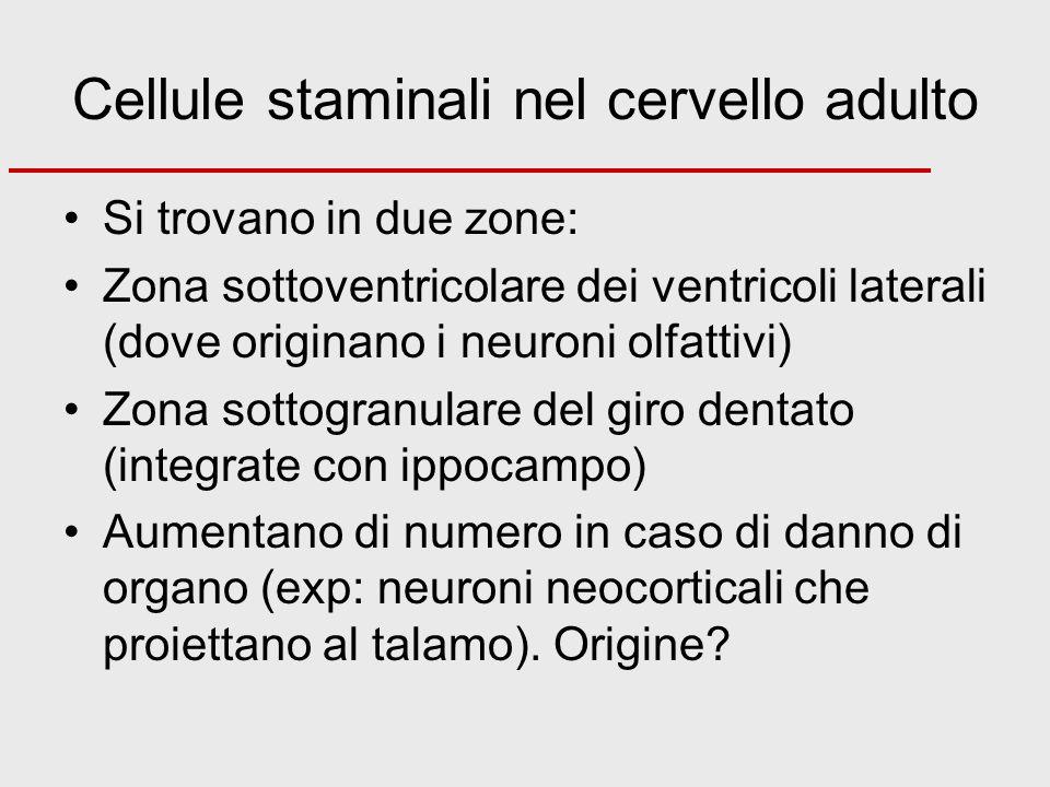 Cellule staminali nel cervello adulto Si trovano in due zone: Zona sottoventricolare dei ventricoli laterali (dove originano i neuroni olfattivi) Zona