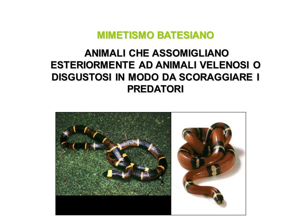 MIMETISMO BATESIANO ANIMALI CHE ASSOMIGLIANO ESTERIORMENTE AD ANIMALI VELENOSI O DISGUSTOSI IN MODO DA SCORAGGIARE I PREDATORI ANIMALI CHE ASSOMIGLIAN