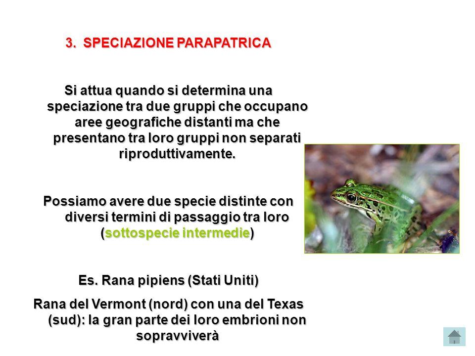 3.SPECIAZIONE PARAPATRICA Si attua quando si determina una speciazione tra due gruppi che occupano aree geografiche distanti ma che presentano tra lor