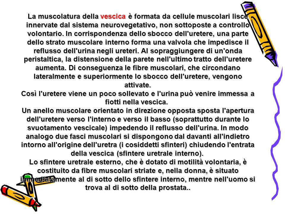 La muscolatura della vescica è formata da cellule muscolari lisce innervate dal sistema neurovegetativo, non sottoposte a controllo volontario. In cor