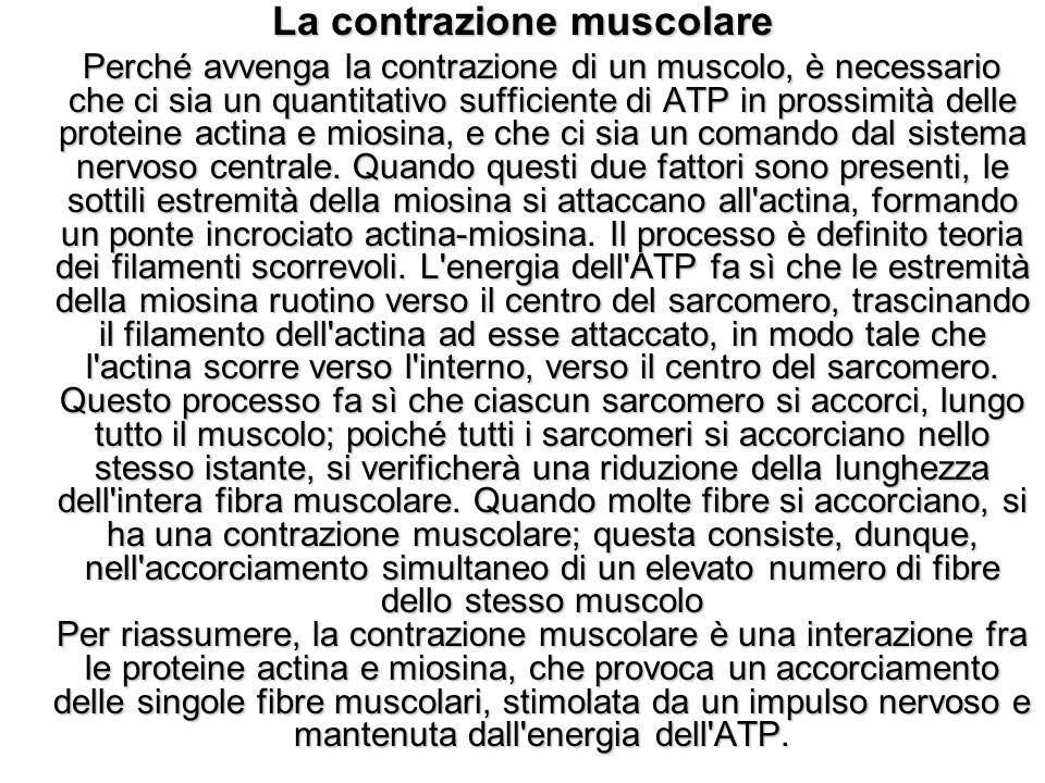 La contrazione muscolare Perché avvenga la contrazione di un muscolo, è necessario che ci sia un quantitativo sufficiente di ATP in prossimità delle p