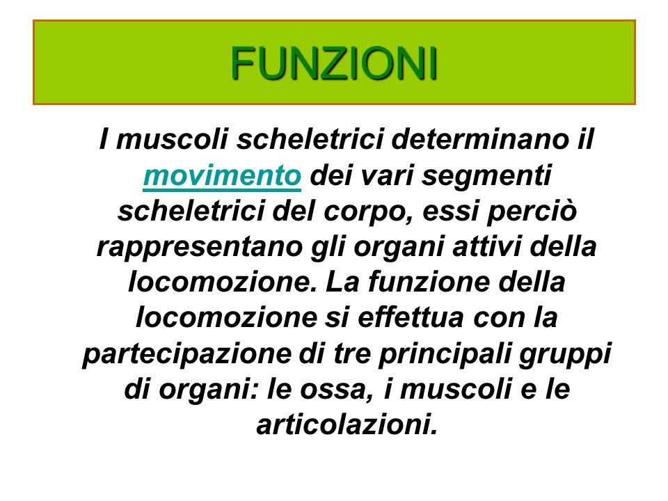 FUNZIONI I muscoli scheletrici determinano il movimento dei vari segmenti scheletrici del corpo, essi perciò rappresentano gli organi attivi della loc