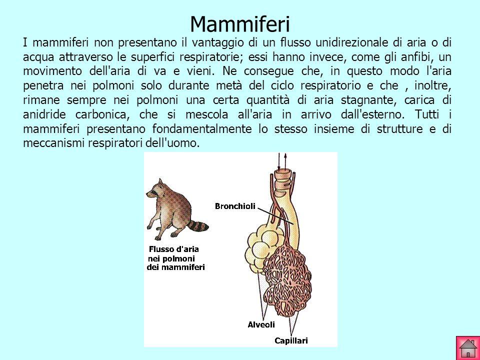 Mammiferi I mammiferi non presentano il vantaggio di un flusso unidirezionale di aria o di acqua attraverso le superfici respiratorie; essi hanno inve