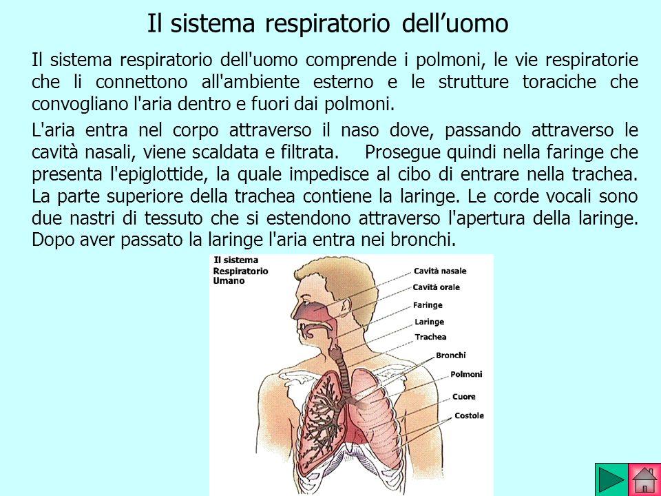 Il sistema respiratorio delluomo Il sistema respiratorio dell'uomo comprende i polmoni, le vie respiratorie che li connettono all'ambiente esterno e l