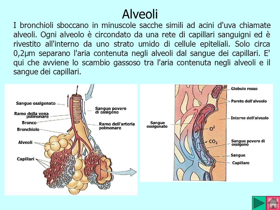 Alveoli I bronchioli sboccano in minuscole sacche simili ad acini d'uva chiamate alveoli. Ogni alveolo è circondato da una rete di capillari sanguigni