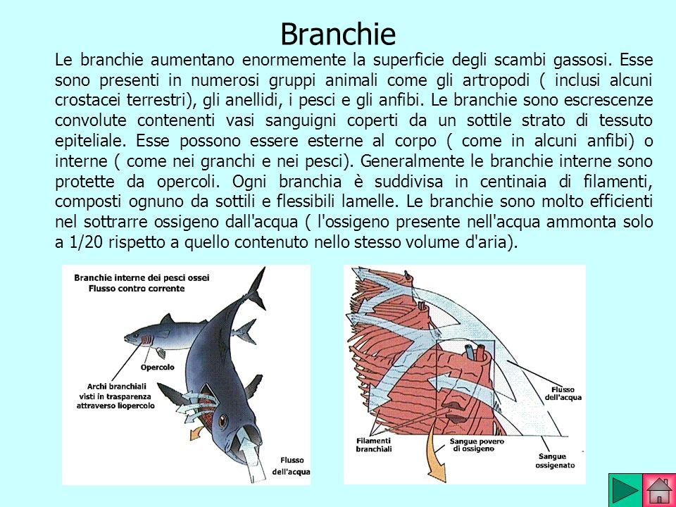 Branchie Le branchie aumentano enormemente la superficie degli scambi gassosi. Esse sono presenti in numerosi gruppi animali come gli artropodi ( incl