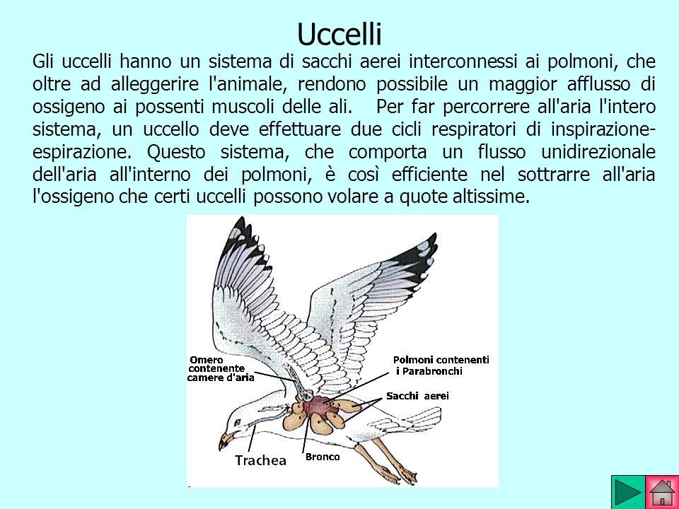 Uccelli Gli uccelli hanno un sistema di sacchi aerei interconnessi ai polmoni, che oltre ad alleggerire l'animale, rendono possibile un maggior afflus
