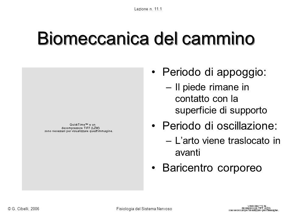 Biomeccanica del cammino © G. Cibelli, 2006 Fisiologia del Sistema Nervoso Lezione n. 11.1 Periodo di appoggio: –Il piede rimane in contatto con la su