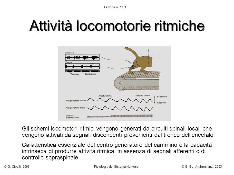 Attività locomotorie ritmiche Gli schemi locomotori ritmici vengono generati da circuiti spinali locali che vengono attivati da segnali discendenti pr