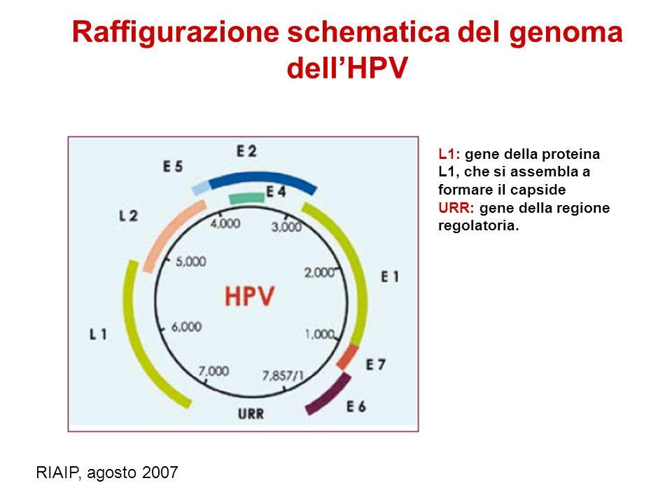Raffigurazione schematica del genoma dellHPV L1: gene della proteina L1, che si assembla a formare il capside URR: gene della regione regolatoria. RIA