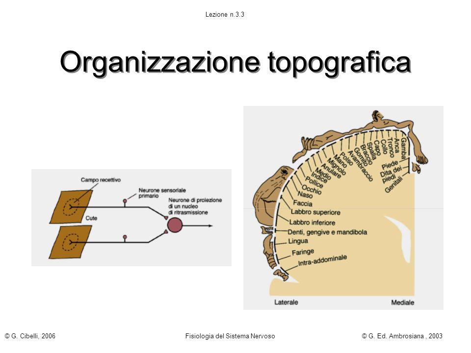 Organizzazione topografica Lezione n.3.3 © G. Cibelli, 2006 Fisiologia del Sistema Nervoso© G. Ed. Ambrosiana, 2003