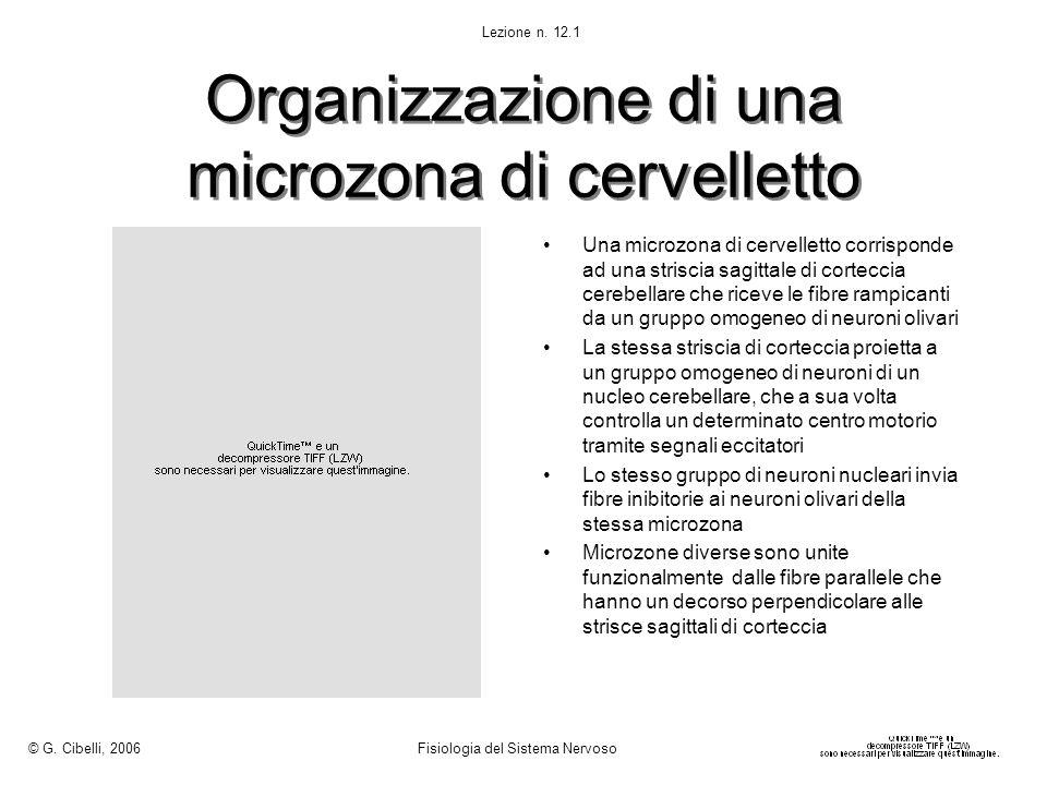 Organizzazione di una microzona di cervelletto Una microzona di cervelletto corrisponde ad una striscia sagittale di corteccia cerebellare che riceve