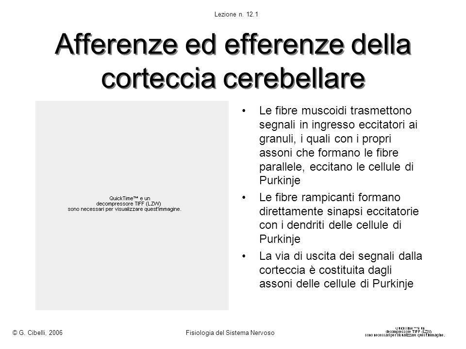 Afferenze ed efferenze della corteccia cerebellare Le fibre muscoidi trasmettono segnali in ingresso eccitatori ai granuli, i quali con i propri asson