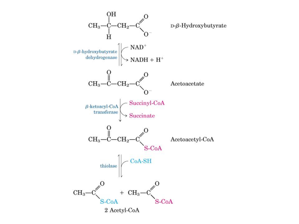 Formazione ed esportazione dei corpi chetonici Le condizioni che determinano un aumento della gluconeogenesi, (diabete non controllato, diete troppo rigide e digiuno) rallentano il flusso dei metaboliti nel ciclo citrico ed esaltano la conversione di acetil-CoA in acetoacetato.