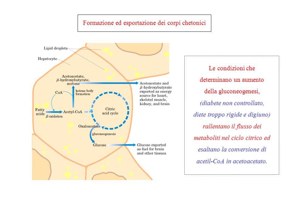 Formazione ed esportazione dei corpi chetonici Le condizioni che determinano un aumento della gluconeogenesi, (diabete non controllato, diete troppo r