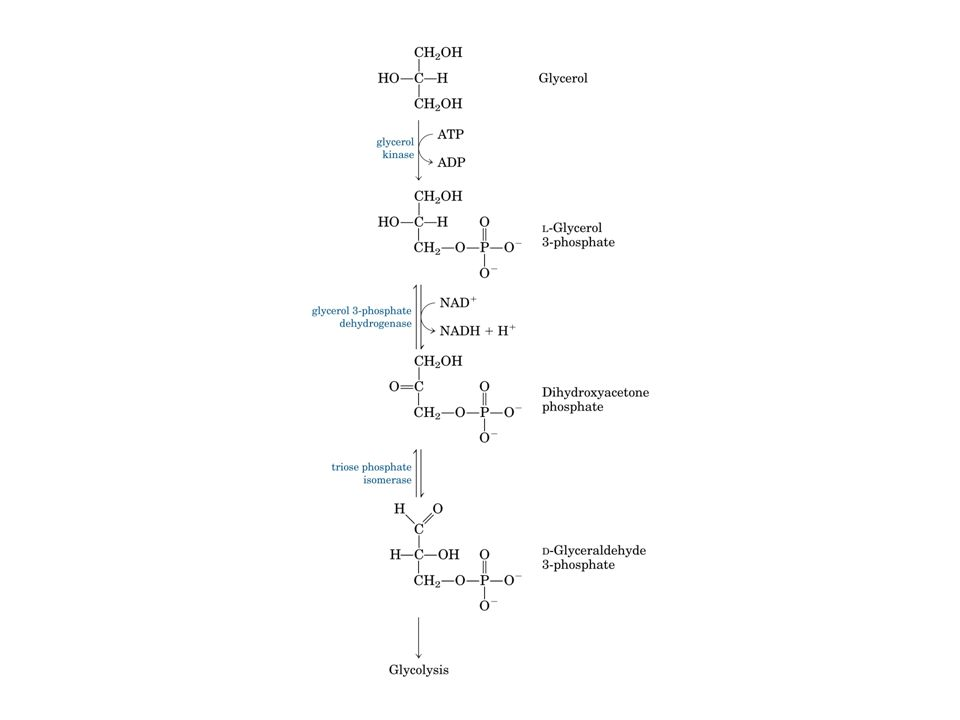 Azione delle lipasi pancreatiche nel muscolo e nel tessuto adiposo ApoC-II