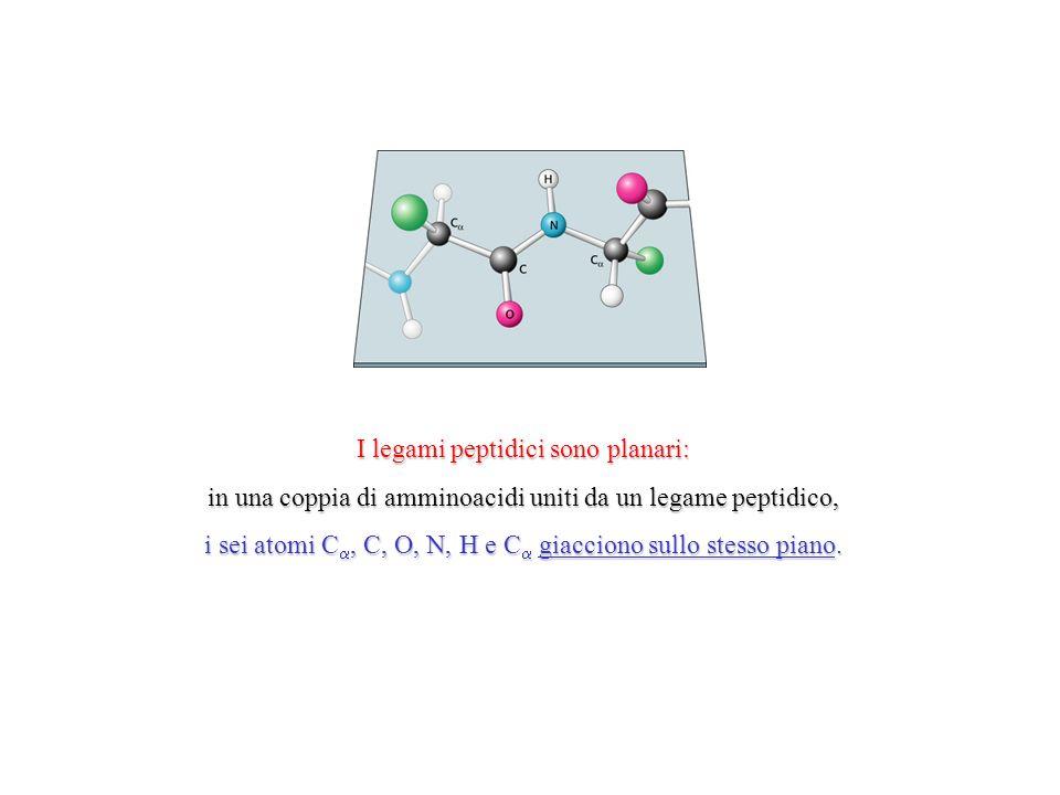 I legami peptidici sono planari: in una coppia di amminoacidi uniti da un legame peptidico, i sei atomi C, C, O, N, H e C giacciono sullo stesso piano.