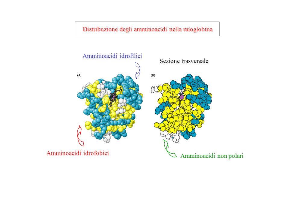 Amminoacidi idrofilici Amminoacidi idrofobici Amminoacidi non polari Sezione trasversale Distribuzione degli amminoacidi nella mioglobina