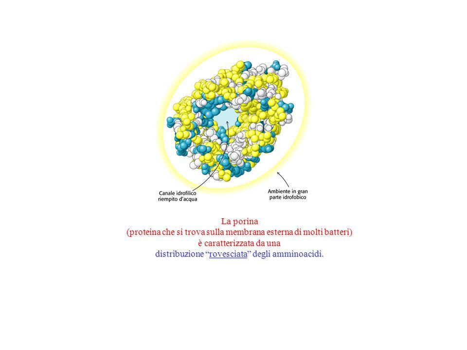 La porina (proteina che si trova sulla membrana esterna di molti batteri) è caratterizzata da una distribuzione rovesciata degli amminoacidi.