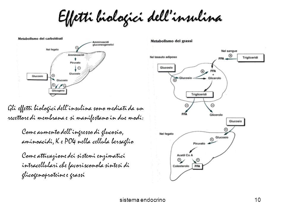sistema endocrino10 Effetti biologici dellinsulina Gli effetti biologici dellinsulina sono mediati da un recettore di membrana e si manifestano in due modi: Come aumento dellingresso di glucosio, aminoacidi, K e PO4 nella cellula bersaglio Come attivazione dei sistemi enzimatici intracellulari che favorisconola sintesi di glicogenoproteine e grassi