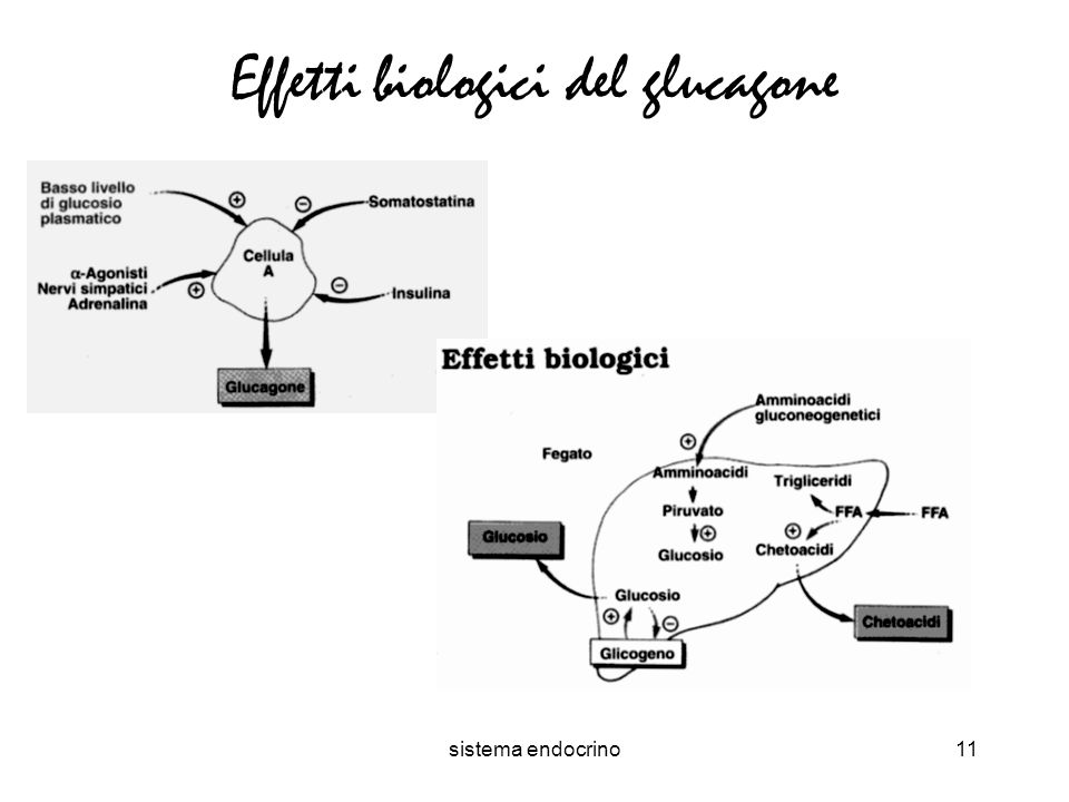 sistema endocrino11 Effetti biologici del glucagone
