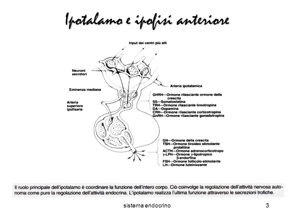sistema endocrino3 Ipotalamo e ipofisi anteriore
