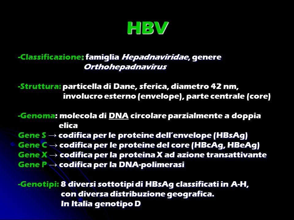 HBV : famiglia Hepadnaviridae, genere -Classificazione: famiglia Hepadnaviridae, genere Orthohepadnavirus Orthohepadnavirus -Struttura: particella di