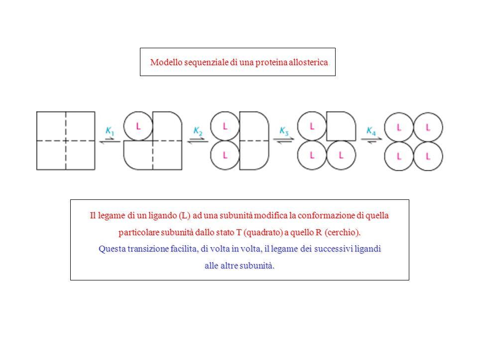 Modello sequenziale di una proteina allosterica Il legame di un ligando (L) ad una subunità modifica la conformazione di quella particolare subunità d