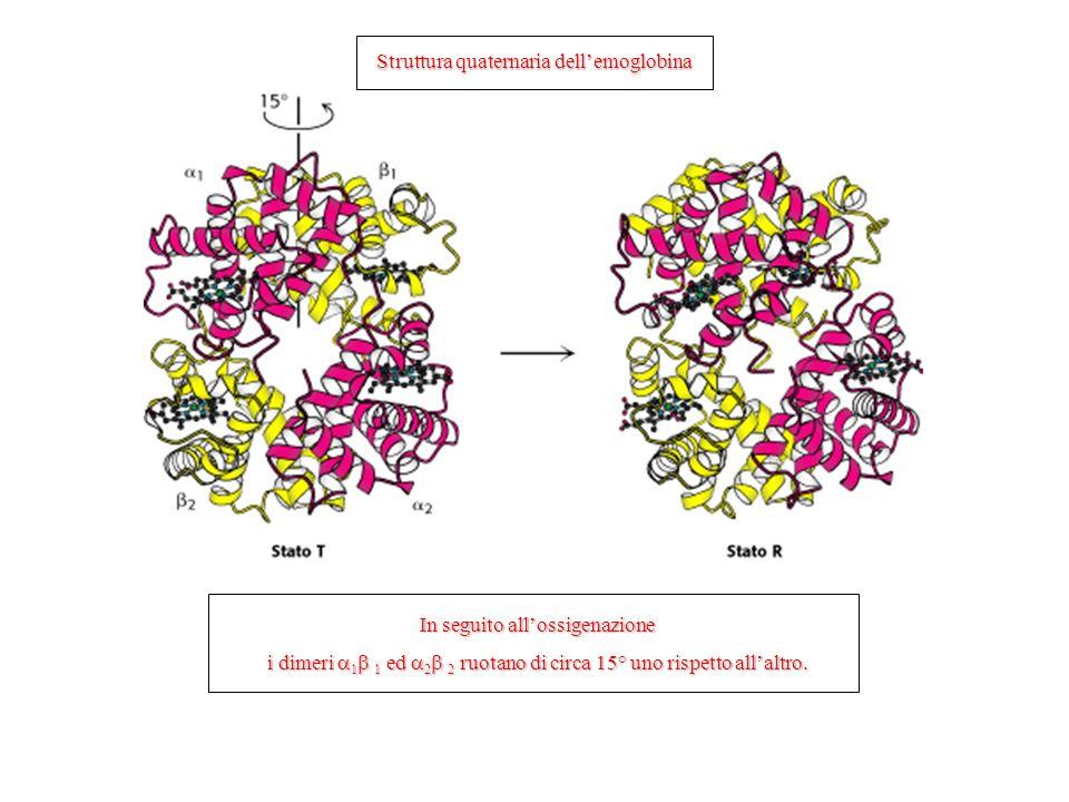Struttura quaternaria dellemoglobina In seguito allossigenazione i dimeri 1 1 ed 2 2 ruotano di circa 15° uno rispetto allaltro.