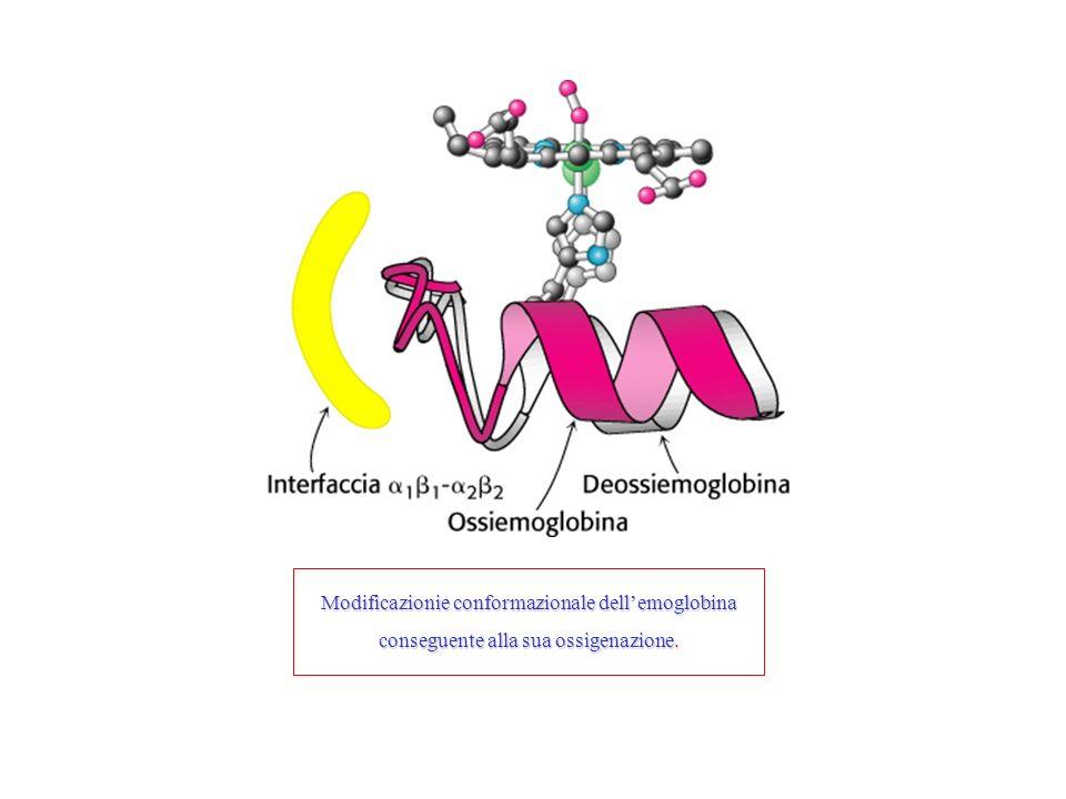 Modificazionie conformazionale dellemoglobina conseguente alla sua ossigenazione.