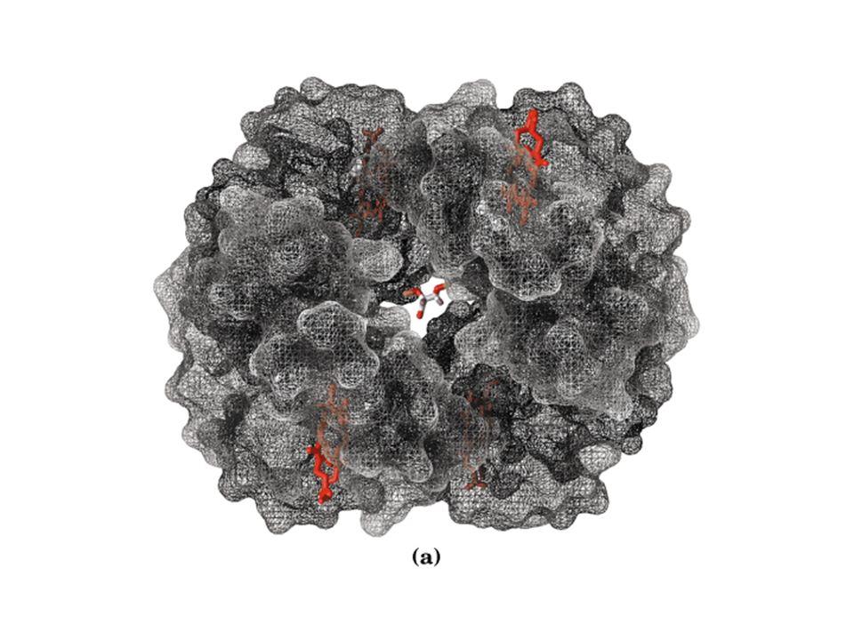 Modello sequenziale di una proteina allosterica Il legame di un ligando (L) ad una subunità modifica la conformazione di quella particolare subunità dallo stato T (quadrato) a quello R (cerchio).