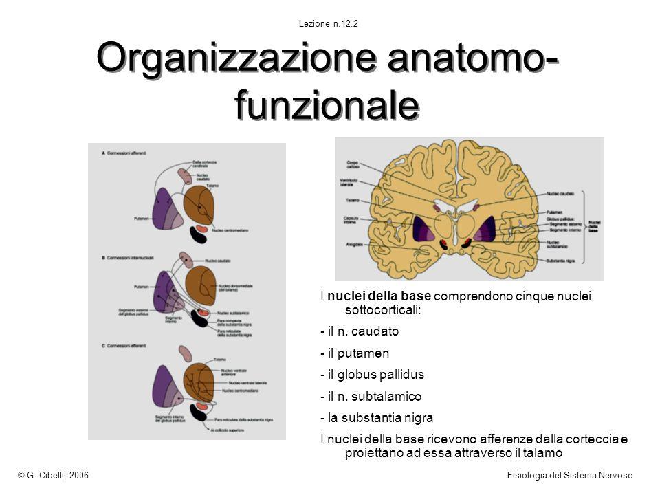 Organizzazione anatomo- funzionale I nuclei della base comprendono cinque nuclei sottocorticali: - il n. caudato - il putamen - il globus pallidus - i